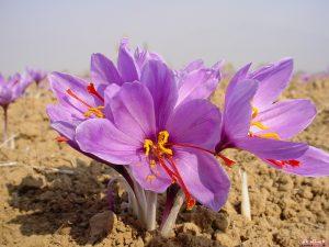 تاثیر زعفران بر درمان سرطان
