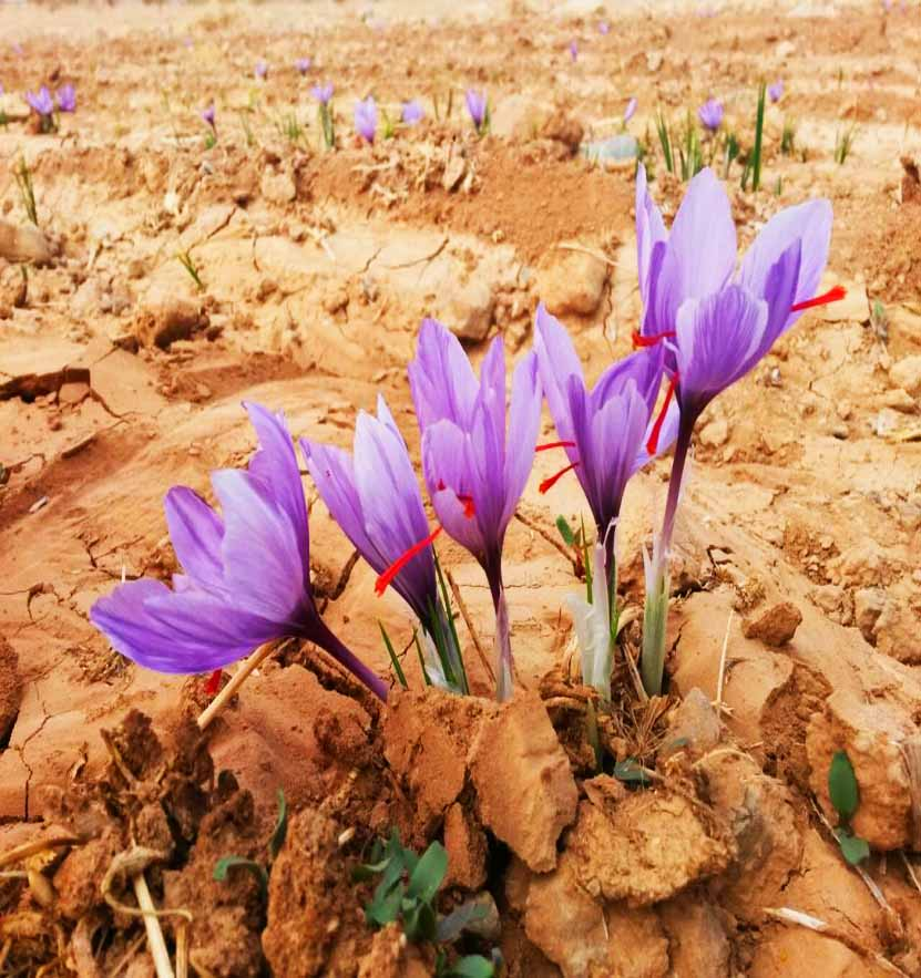 زعفران ارگانیک چیست