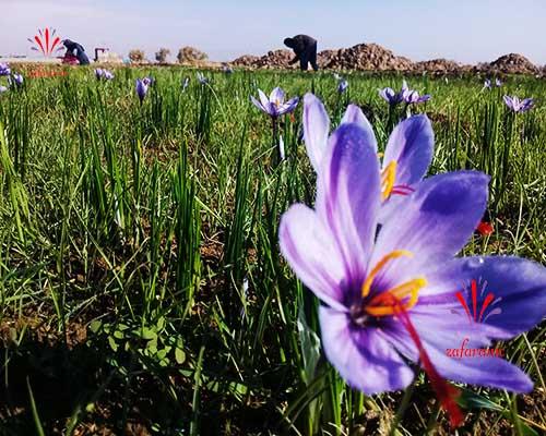 زعفران گناباد ثبت جهانی شد