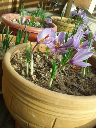 زمان کاشت زعفران در جعبه و گلدان