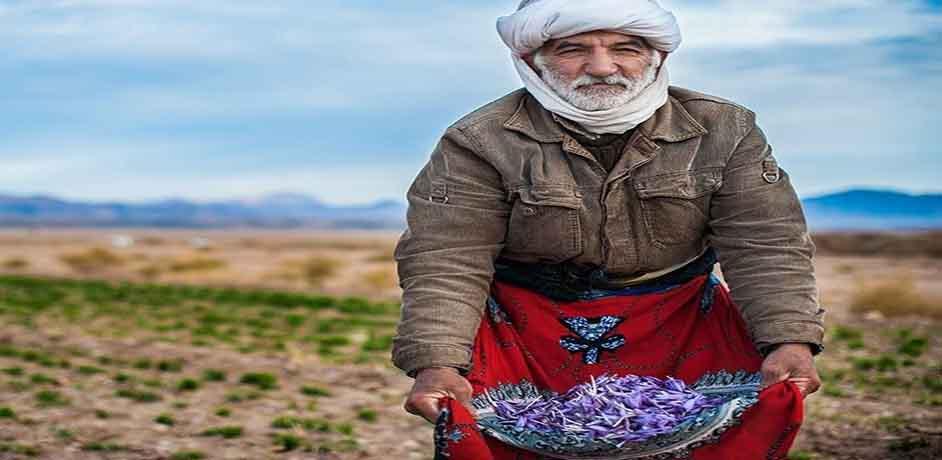 آموزش کاشت و برداشت زعفران