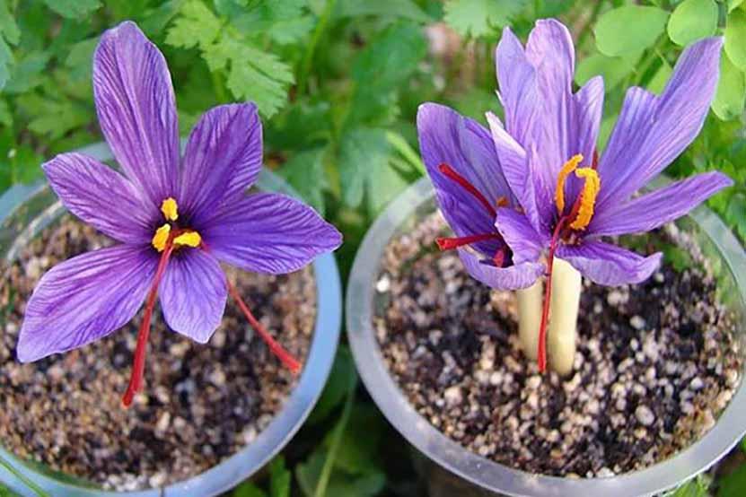 طریقه کاشت زعفران در گلدان