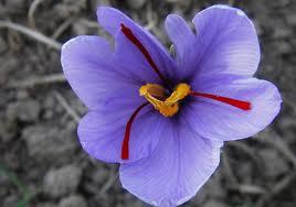 گل زعفران چیست