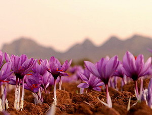 saffron-cultivation3