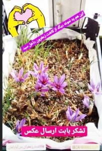 کاشت پیاز زعفران در گلدان