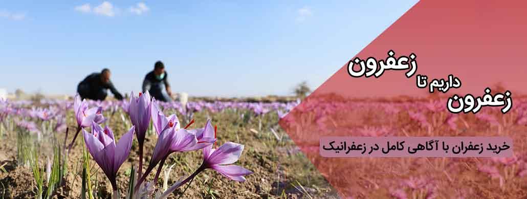 خرید عمده زعفران از کشاورز در زعفرانیک
